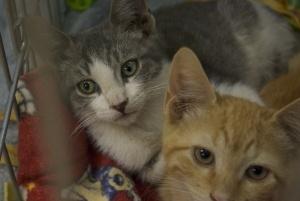 Die Kätzchen von Polydactyl und Freunden sind ein entzückender Wurf aus sechs …   – Adopted Cats