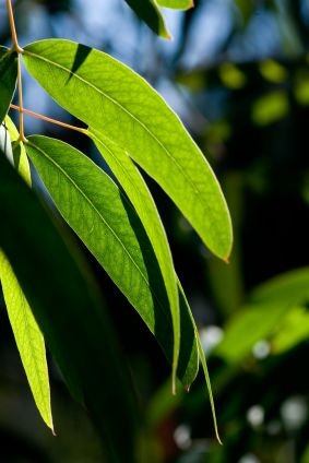 Eucalyptus Oil Prevents Mosquito Bites   Fresh Bites Daily