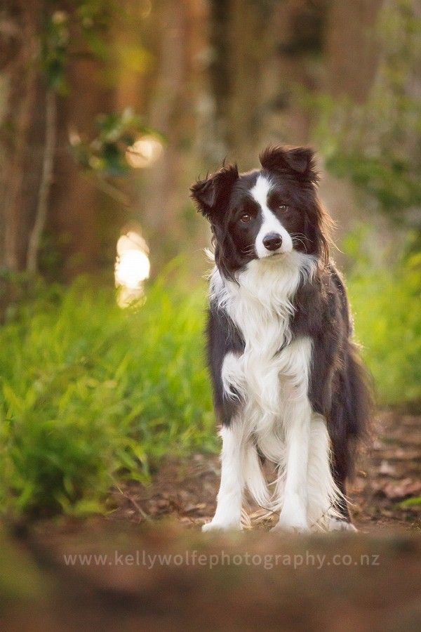 Reilly by kellywolfephotography Border Collies always no how to strike a pose!
