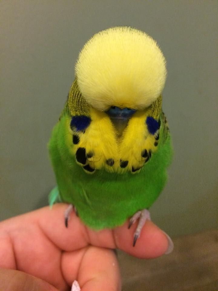 how to hold a budgie