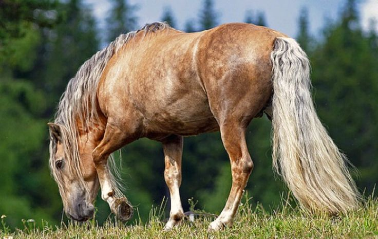 Finnhorse. The national horse breed of Finland; the only breed fully developed there. It has both riding and draft horse characteristics. It is sometimes called the Finnish Universal as it is considered capable of fulfilling all of the country's horse needs, from agricultural work to harness racing and pleasure riding. photo: kaarne2