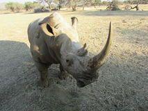 Close up photo of white rhinoceros with large horn Stock Image