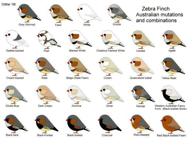 Zebra Finch Care