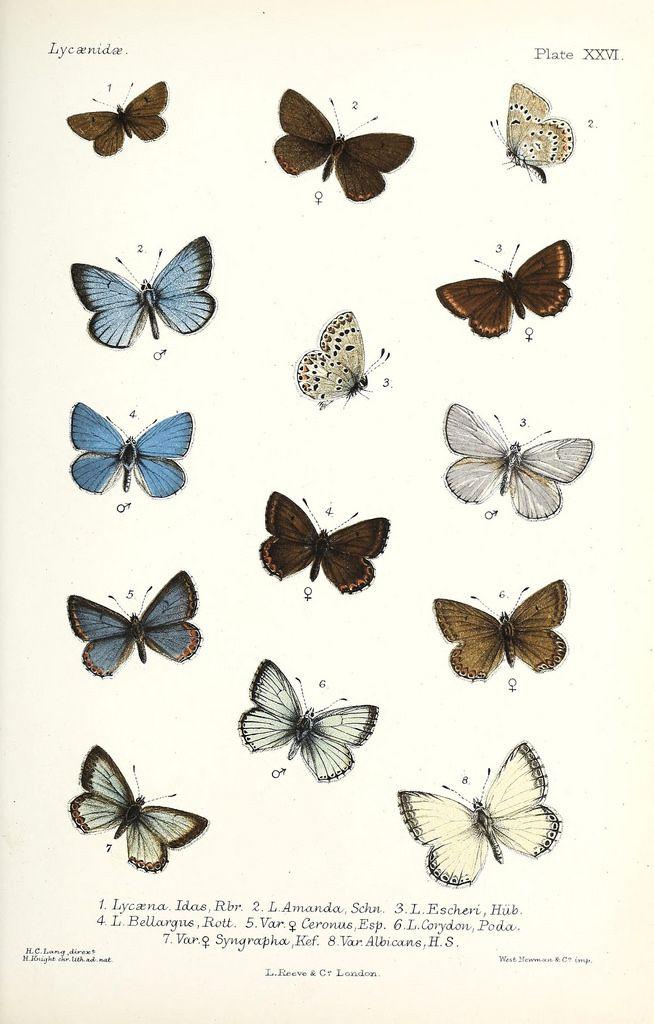 Massor av bilder från gamla böcker, djur mm    Rhopalocera Europæ, descripta et delineata . London :L. Reeve,1884.. biodiversitylibrary.org