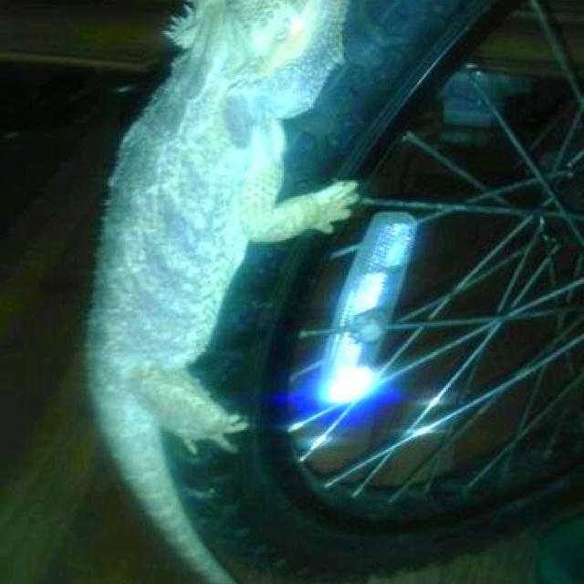 Glowing dragon on bicycle wheel #PETS #Lizards #dragons #NYC: Bicycles Fun, Lizards Dragon, Bicycles Stuff, Dragon Nyc, Bicycles Accessories, Bicycle Wheel, Glow Dragon, Bicycles Wheels, Bicycle Fun