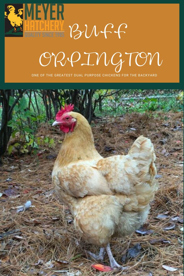 Buff Orpington Chickens are a popular dual-purpose variety ...