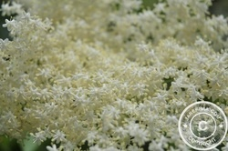 #Cosmos in the #Garden - #Elderflower #Liqueur #Recipe - http://www.jarekrak.com/1/post/2013/06/elderflower-liqueur.html #flowers #recipes #annuals