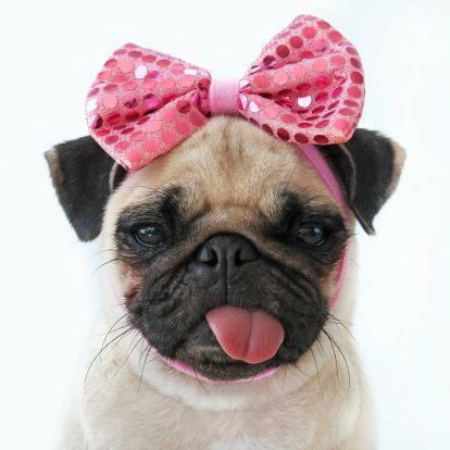Who wouldnt want her.: Pugs Puppies, Dogs Bows,  Pug-Dog, Funny Pugs, Pet, Pink Ribbons, Pugs Dogs, Cute Pugs, Pink Bows