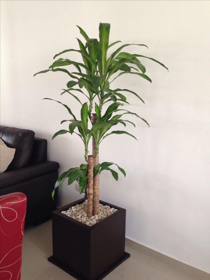 Palo de brasil plantas de interior pinterest - Plantas de agua para interiores ...