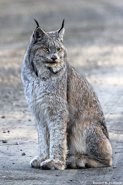 8 Best Canadian Lynx Images On Pinterest Big Cats Wild