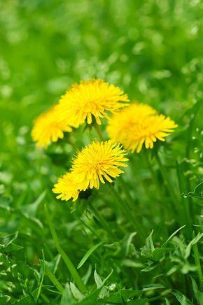 Dans la série des purins naturels à réaliser soi-même et utiliser au jardin: le purin de pissenlit. Une fleur facile à se procurer pour un activateur de croissance et insecticide naturel au jardin.