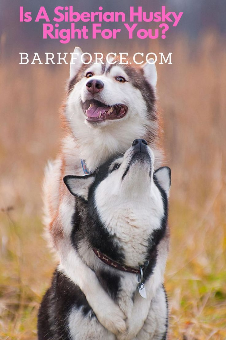 Is A Siberian Husky Right For You Barkforce In 2020 Husky Breeds Siberian Husky Husky