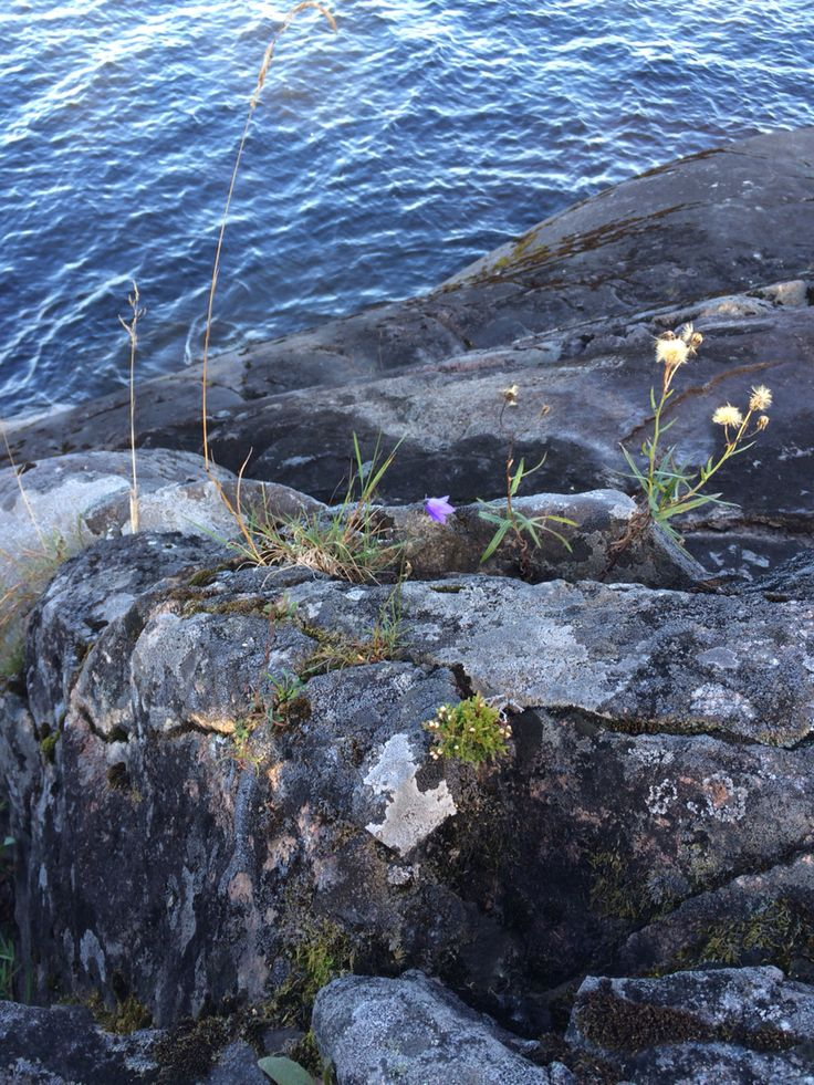 Granite and flowers at Ladoga lake.