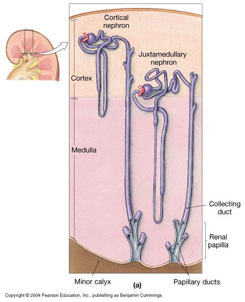 90 Best Urinary System Images On Pinterest Anatomy Medicine And