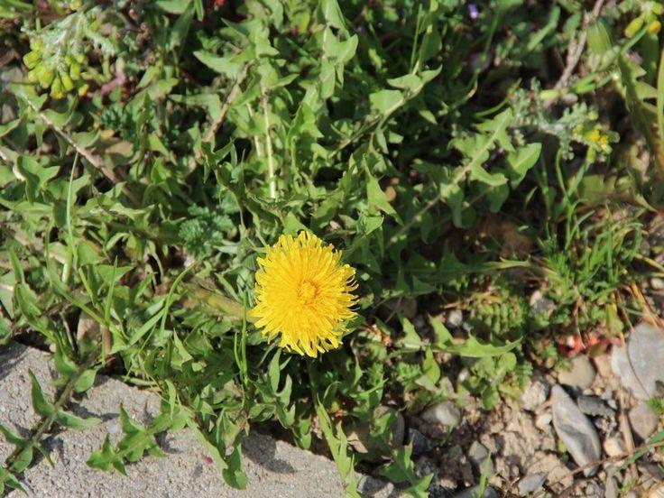 mauvaises herbes - alsagarden (4)