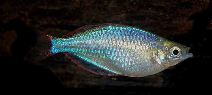 1000 images about rainbows on pinterest stock list for Dwarf rainbow fish
