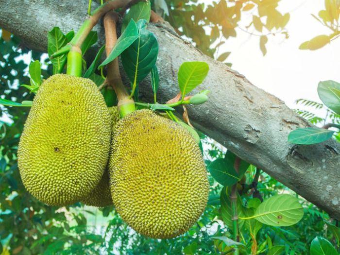 Curiosidades y recetas con Jackfruit o Fruta de Pan