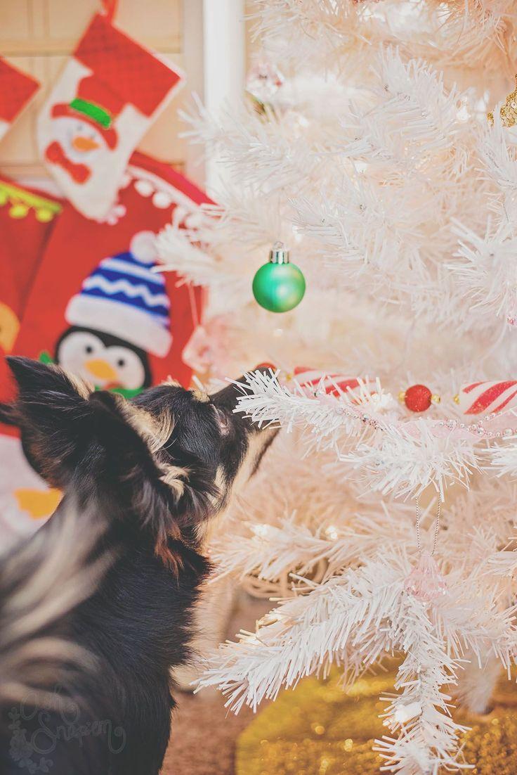 Bulba the Corgi/Chihuahua mix snooping around the Christmas Tree.