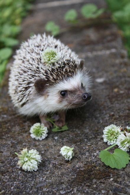 """A Hedgehog in Clover ~ Well! Roll Me Over!""       (#sweet #hedgehog )"