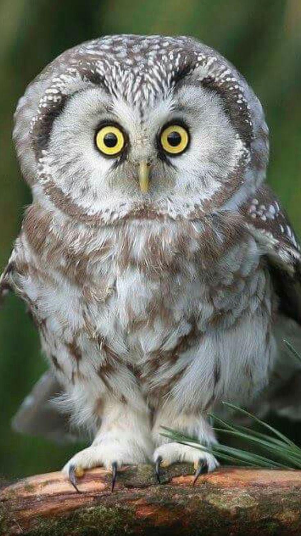 Wide eyed owl