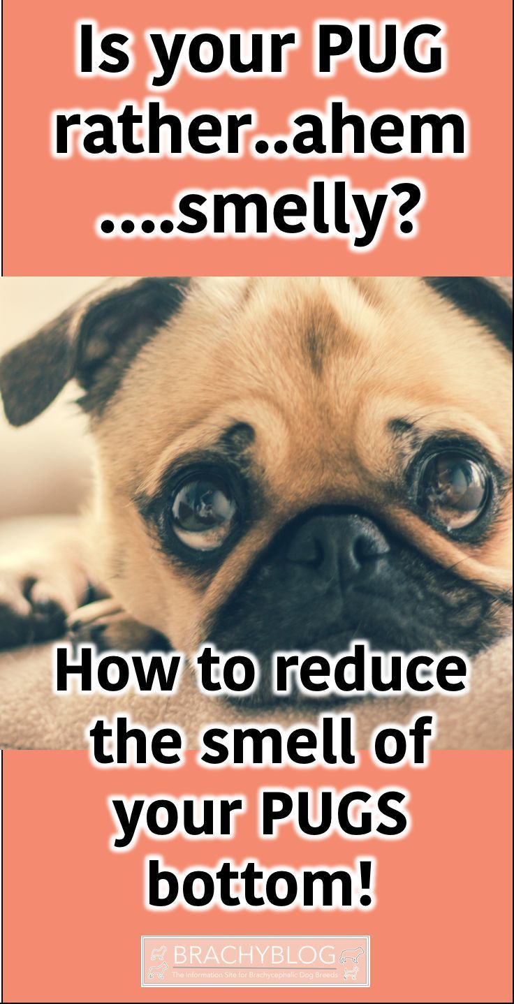 If You Have A Pug Then Well A Smelly Bottom Is A Common
