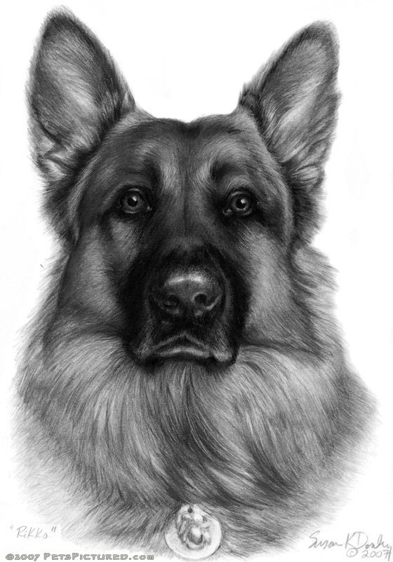 German Shepherd - graphite portrait drawing