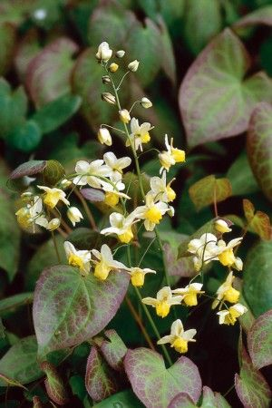 Epimedium x versicolor 'Sulphureum' - Low morbidity. Also available in pink. Evergreen foliage.  Good shady doer.
