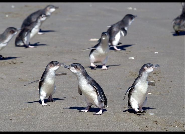 Oil spilled penguins post apollo sea
