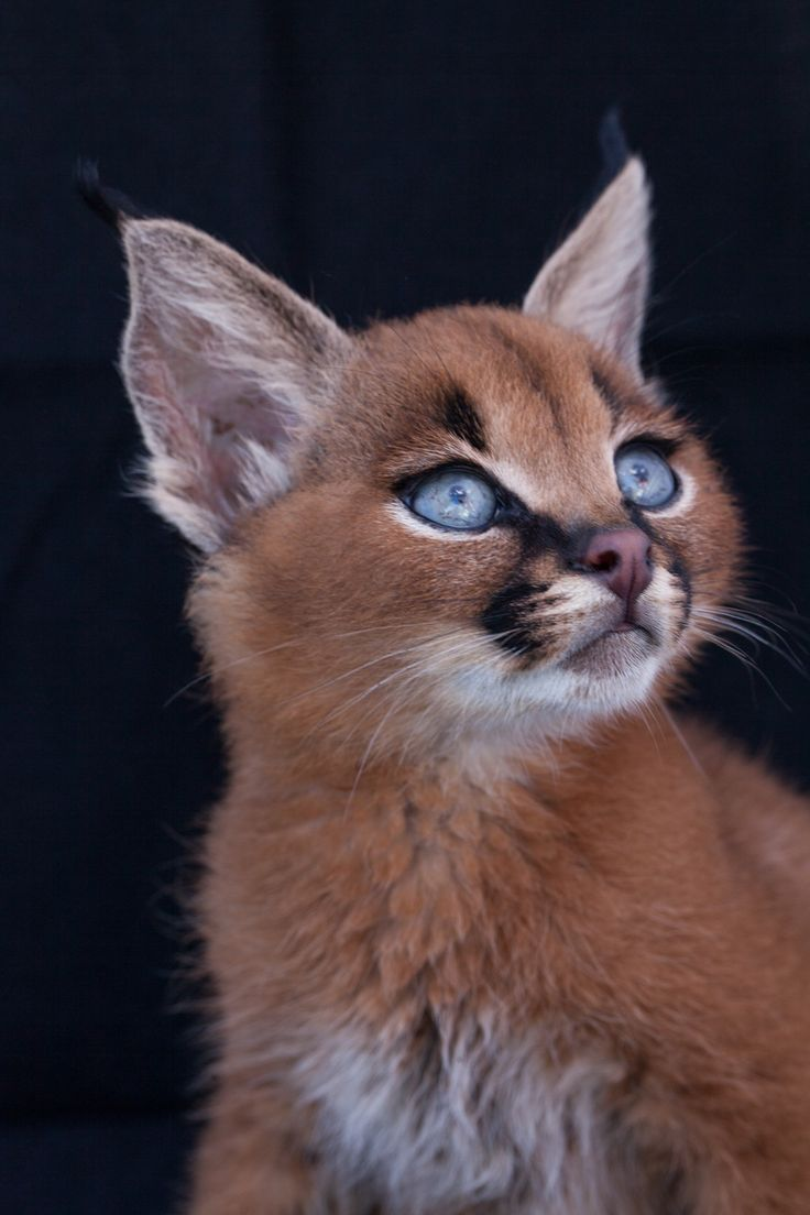 caracal kittens, originated from Africa. baby kittens have folded ears