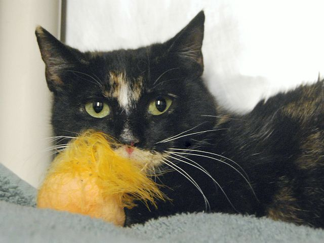LOTUS - 18681 - - Manhattan  *** TO BE DESTROYED 01/24/18 *** LOTUS was found inside the Bronx Zoo and was brought into the ACC. LOTUS is in need of a loving home.  -  Click for info & Current Status: http://nyccats.urgentpodr.org/lotus-18681/