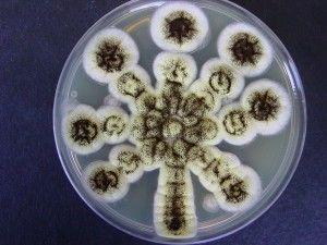 Aspergillus Agar Plate Art Pinterest Plate Art
