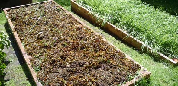 Seaweed as garden mulch - so many benefits!