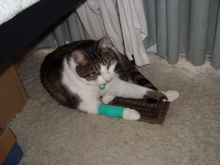 Wednesday 15th July 2015: Manny had his teeth cleaned today - no extraction! Also got his claws trimmed, and received some IV fluids because he's old. The bandage where the IV went has since been removed (he's been shaved there).