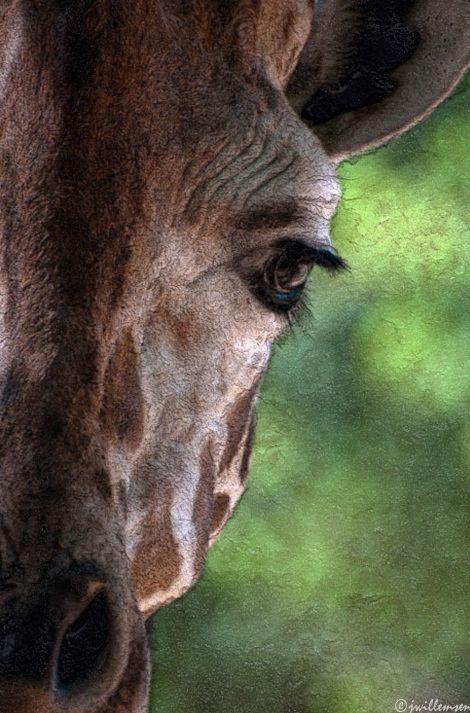 giraffe photo: john willemsen