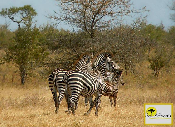 Family love! #zebra #babyzebra #Africa #SouthAfrica #travel #holiday #holidaydestination #tour #tourism #tourismagency #adventure #fun #exotic #safari #wild #wilderness #explore #discover #nature #naturalbeauty #sun #sunshine #bluesky