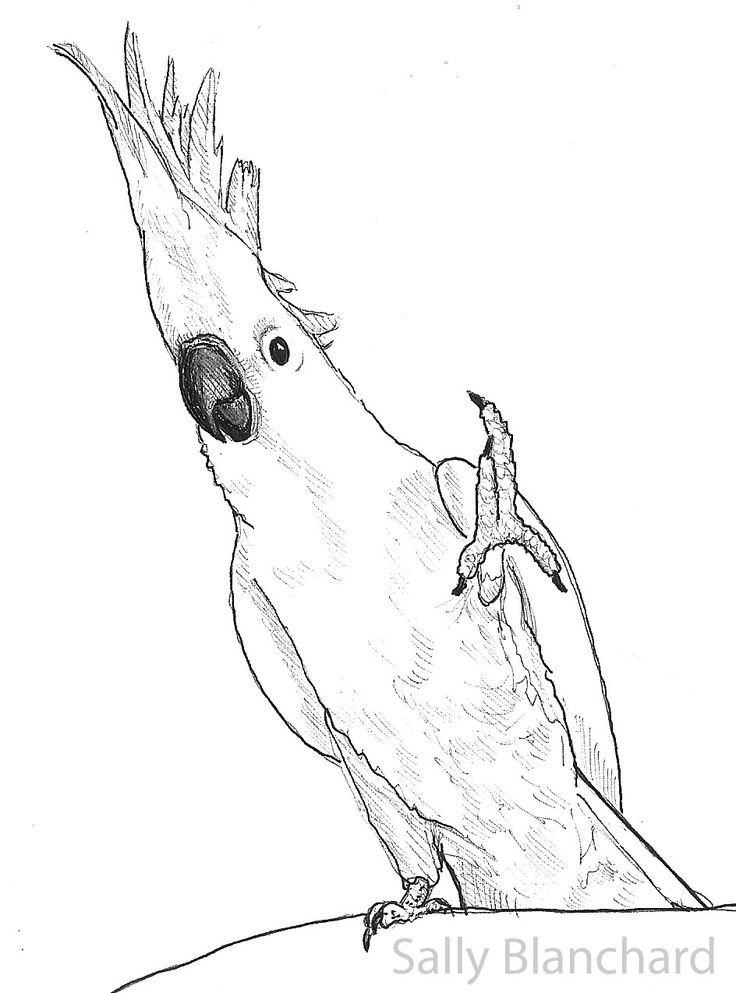 Sally blanchard pen drawing medium sulfur crested, love bird coloring pages