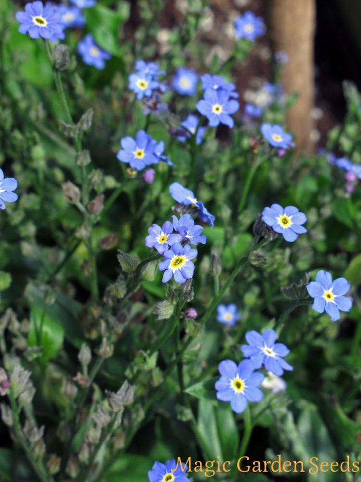 Samen für Teekräuter wie Wald-Vergissmeinnicht (Myosotis sylvatica) finden Sie im Online Shop von Magic Garden Seeds