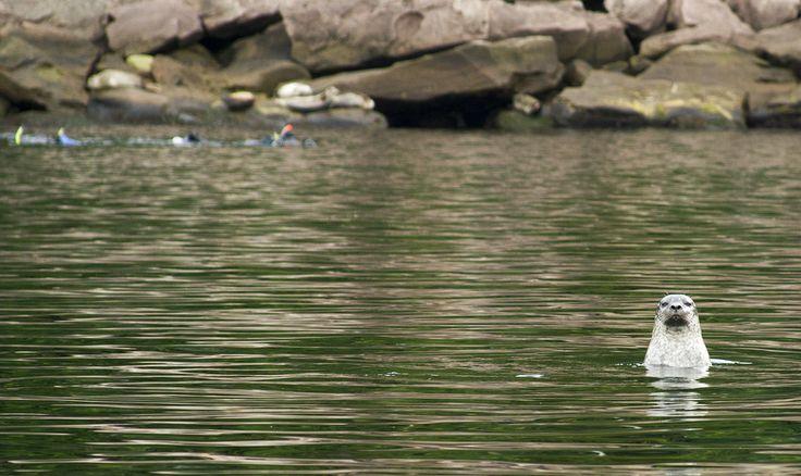 Plongée avec les Phoques | Auberge Griffon Aventure, Gaspé