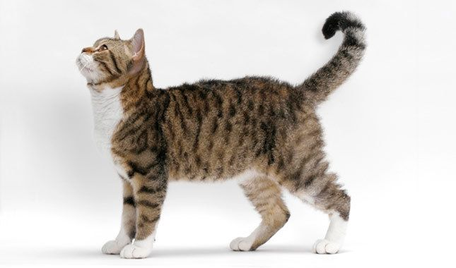 The American Wirehair is a medium-size cat with regular features and a sweet expression. This cat's wiry coat, right down to the whiskers, is thick, hard and springy. It has been described as resembling steel wool. His unusual coat comes in almost any col