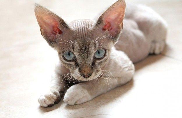Razze di gatti rare e strane - Devon Rex