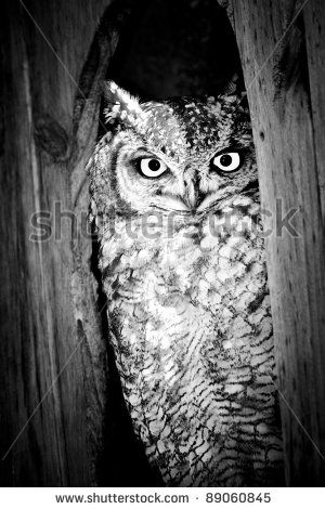 Spotted Eagle Owl in Black and White by ByBethy, via ShutterStock