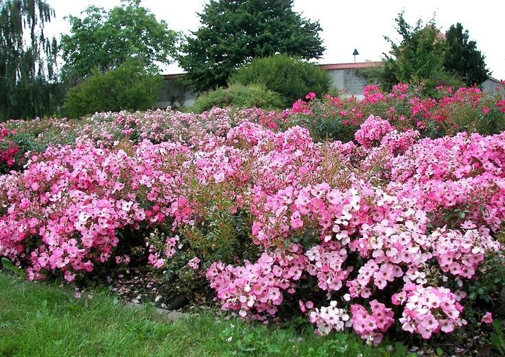 Rosa floribunda 'Fortuna' (Fortuna Vigorosa, Rigo Fortuna). Salmon pink ground cover rose bred by W. Kordes & Sons (Germany, 2002).