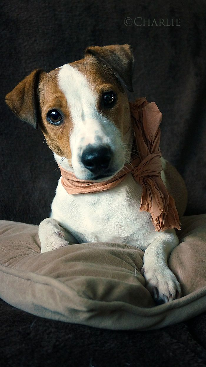 Meet Charlie an amazing jack russel on yummypets.com                                                                                                                                                                                 Plus