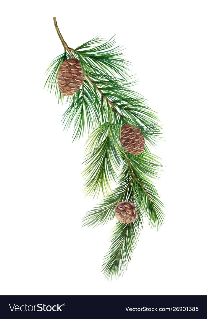 Watercolor Green Spruce Branch With Cones Vector Image On Vectorstock Christmas Wreath Illustration Christmas Branches Branch Drawing
