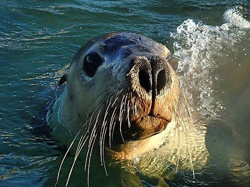 Australian Sea Lions might be endangered but in Geraldton they're our friends.