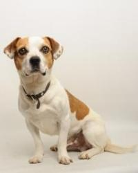 Sherman is an adoptable Beagle Dog in Santa Cruz, CA. Sherman is 5 years old. The Santa Cruz SPCA's adoption package for dogs and cats includes spay/neuter, vaccinations, microchip/registration, an ID...