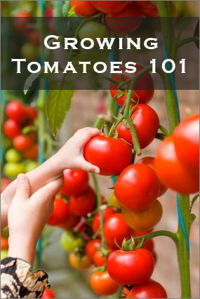 Tomatoes!      HERE'S A TIP:      1tsp epsom salts in 4 c warm water....spray on plant and then 10 days later it produces more fruit due to boost of magnesium... especially for tomatoes, peppers and rose