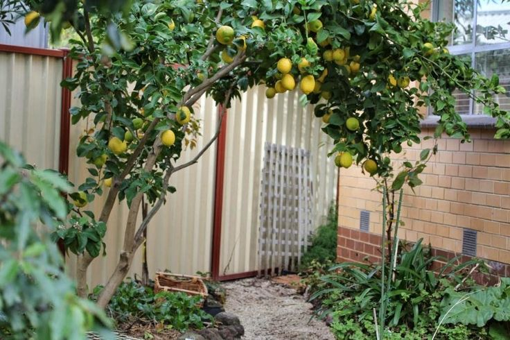 Fruit Trees Front Yard Google Search Oldfield Back