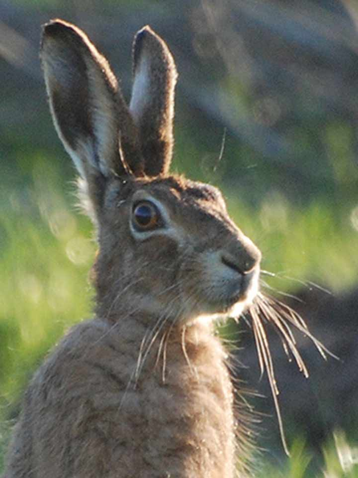 Beautiful Hare