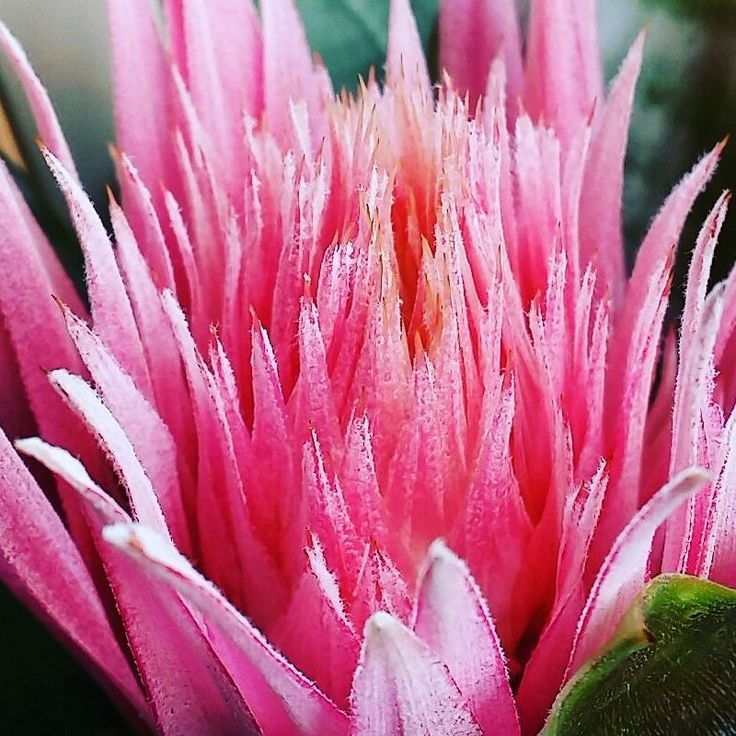 Beautiful #pink #bromeliads flowering way early.. #mybalcony #flower #pinkflowers #nature #flora #wollongong